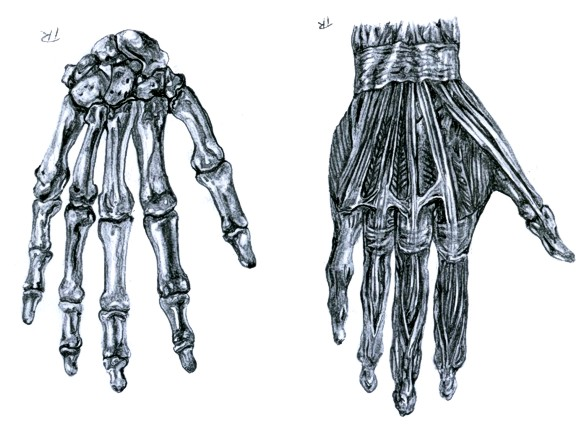 Skeleton Hand Anatomy Study